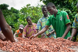 rocessing cocoa beans in UTZ farmer field school Côte d'Ivoire