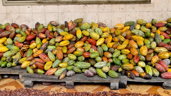 Pile of harvested cocoa pods in Vietnam