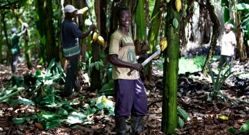 UTZ cocoa farmer during the harvest in Ghana