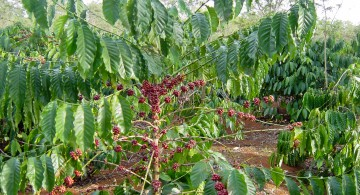 Coffee plantations in Vietnam