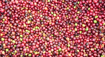Coffee cherries from Vietnam