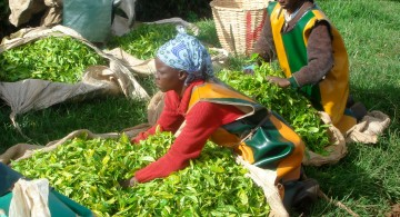 Tea leaves selection (Kenya)