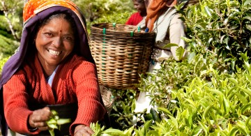 Tea harvest in India