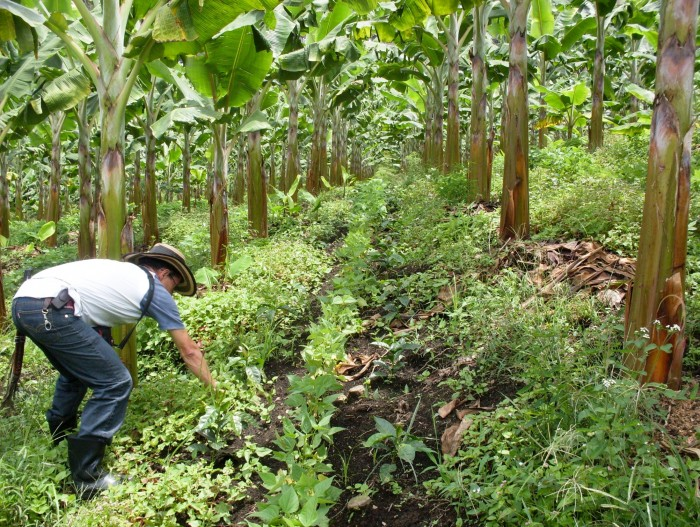 Coffee farmer plants shade trees on his UTZ certified coffee farm in Vietnam.