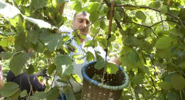 Male farmer picking hazelnuts from the tree during harvest in Turkey
