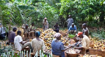 Cocoa farmer group processing cocoa pods